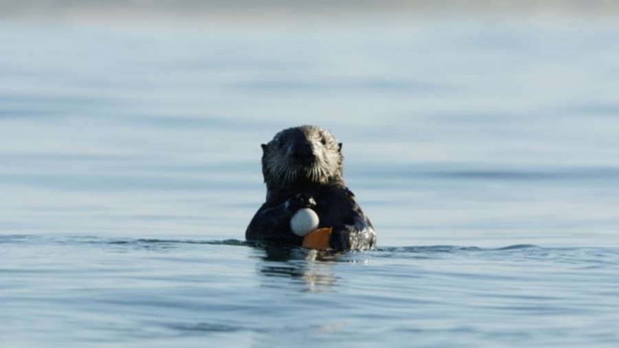 Otter with Golf Ball