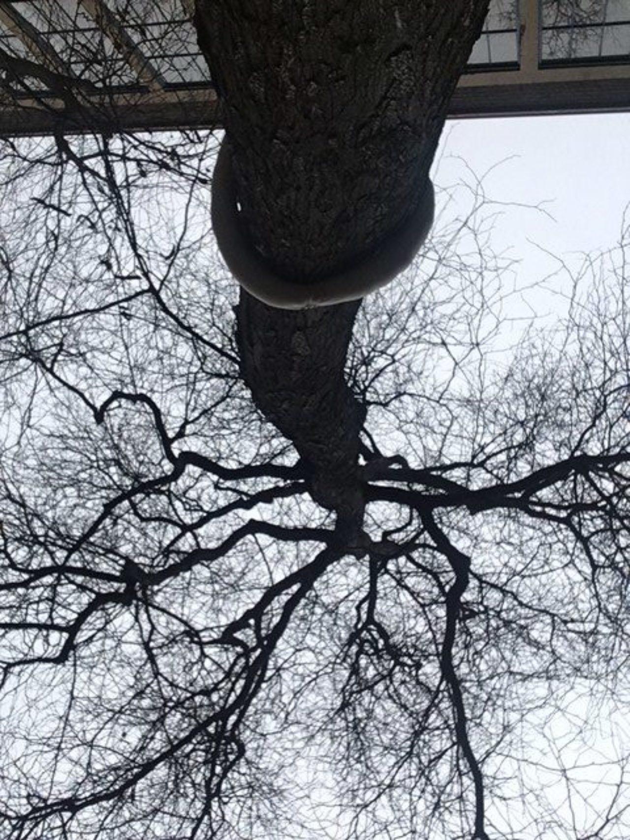 old tree in KABK courtyard